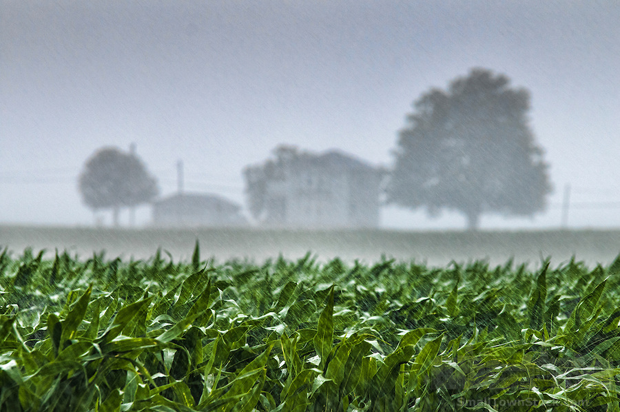Rain  storm soaks field of corn on an Ohio farm.